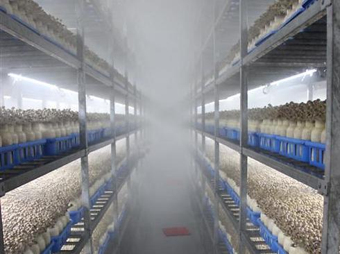 מפעל הפטריות. 160 טון ביום (צילום: בילי פרנקל) (צילום: בילי פרנקל)