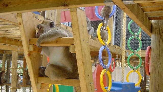גידלה קופים למטרת ניסויים. קופים בחוות מזור (באדיבות חוות מזור ) (באדיבות חוות מזור )