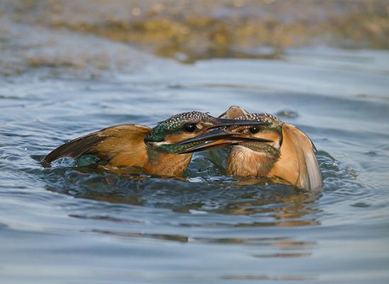 שלגדים גמדיים במריבה במים באגמון ראשון לציון (צילום: אלירן שגיא)