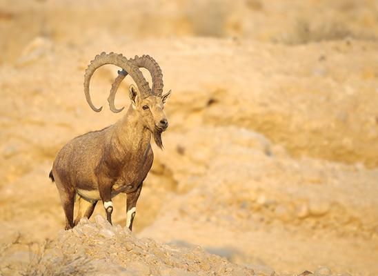זכר יעל נובי מרשים, מטייל על המצוקים (צילום: אמיר איילון)