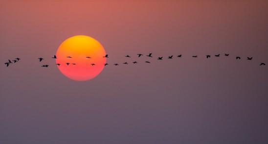 קורמורנים מעל חוף פלמחים (צילום: אסי דבילנסקי)