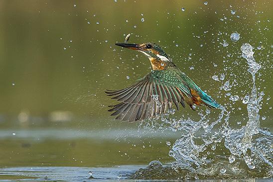 שלדג גמדי יוצא מהמים עם דג באגמון ראשון לציון (צילום: גדי שמילה)