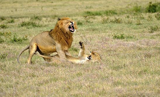 אריה ולביאה רגע לפני ההזדווגות בסרנגטי (צילום: הילטון ברק)