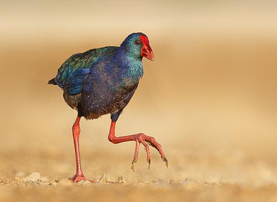 פורפיריה כחולה באזור ניצנה. אני אוהב את המדבר. יש בו יצורים מדהימים (צילום: משה כהן)