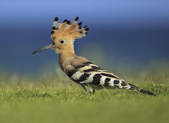 תוך כדי חיפוש אחר מזון במרבד הדשא בקרבת הים, זקרה הדוכיפת את ציצית ראשה המרשימה (צילום: עמית האס)
