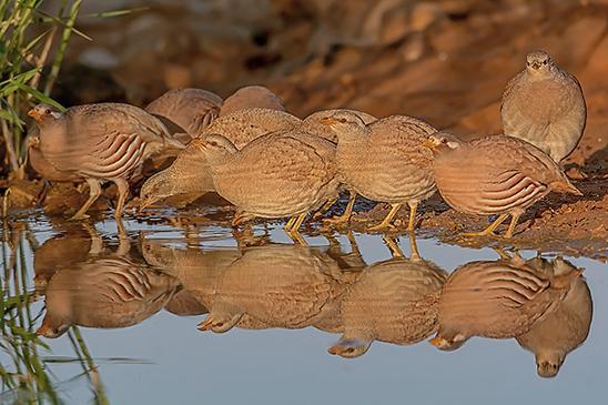 התקבצות קוראים מדבריים לשתיית בוקר בשלולית מים במדבר (צילום: שוקי חלד)