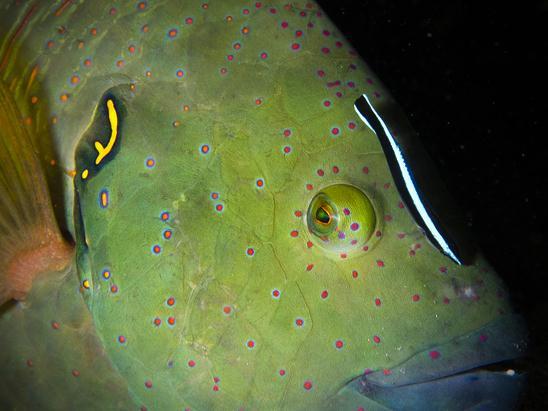 תפאר הסהרון מקבל טיפול מדג נקאי באילת (צילום: שי אורון)