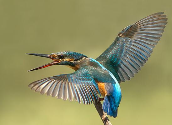 רגע המרגש היה לתפוס תמונה של השלדג הגמדי עם הכנפיים פרושות לרווחה (צילום: שי גטסוף)