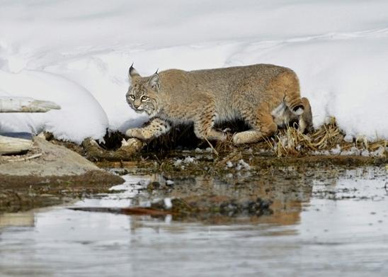 """חתול בר צועד בשלג בחורף בפארק הילוסטון בארה""""ב ומחפש טרף (צילום: מיכה אורבך)"""