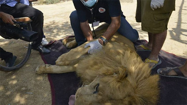 A lion being tranquilized before the transfer