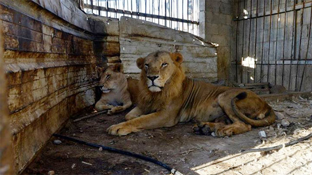 A lion and lioness at the Bisan City Zoo