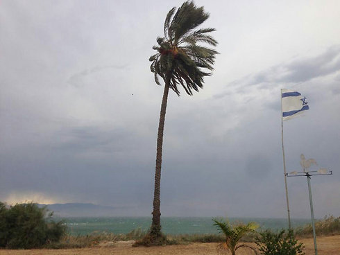 Palm tree struggles in north (Photo: Netanel Elisha)