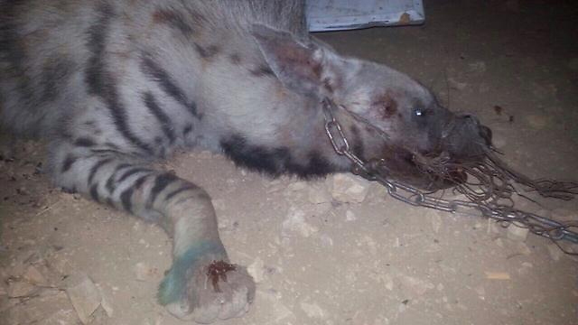 The hyena tied up (Photo: Israel Nature and Parks Authority)