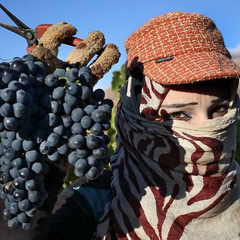 ארבעה דולרים משכורת עבור 16 ארגזי גפנים. פליטה סורית בבציר (צילום: AP) (צילום: AP)