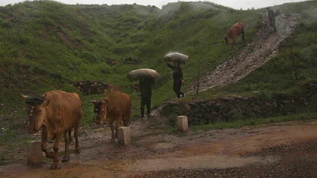 חקלאים יורדים במורד גבעה ביחד עם עדר פרים (צילום: AP)