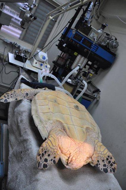 בילי הצבה לקראת הניתוח להוצאת הקרס (צילום: יניב לוי, רשות הטבע והגנים) ()