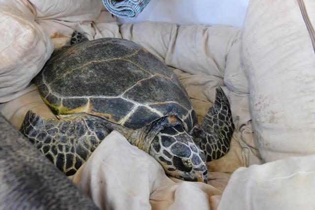 """נובמבר 2014. בילי מגיעה לאילת ב""""צב-בולנס"""" שיצא ממכמורת עם צוות אנשי המרכז להצלת צבי ים של רשות הטבע והגנים (צילום: רן שאולי) ()"""