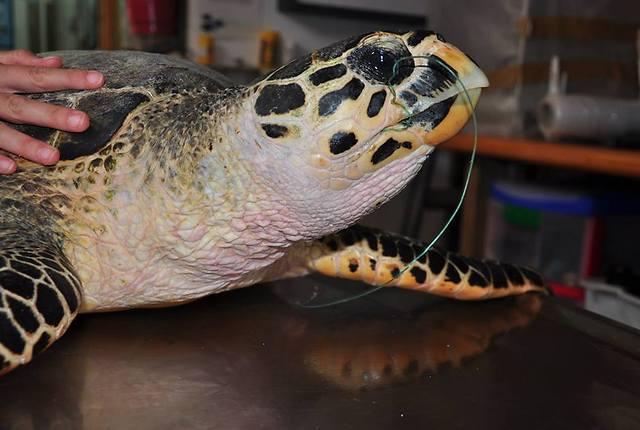 יולי 2014. בילי מאושפזת במרכז הארצי להצלת צבי ים של רשות הטבע והגנים (צילום: יניב לוי, רשות הטבע והגנים)