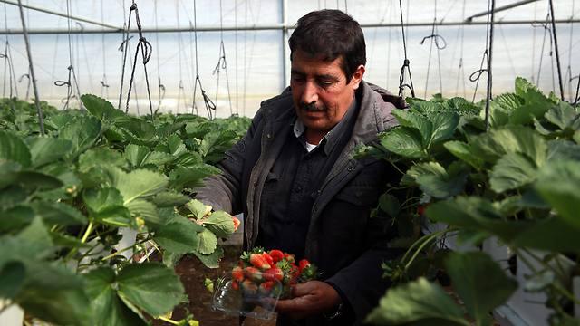 A Palestinian farmer in Jenin (Photo: EPA) (Photo: EPA)