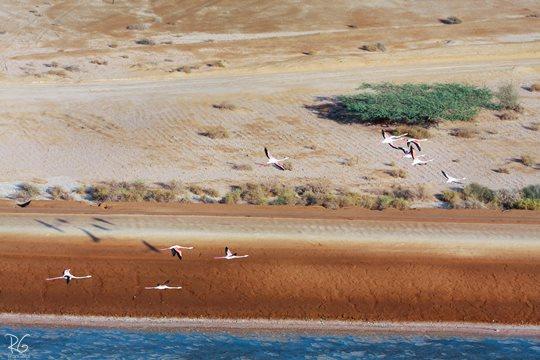 פלמינגו באילת (צילום: רון גפני, SkyPics)