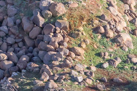7-8 שפני סלע ברמות יששכר (צילום: רון גפני, SkyPics)