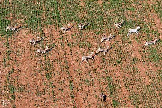 עדר צבאים עם פרט לבקן (ימין) ברמת יששכר (צילום: רון גפני, SkyPics)