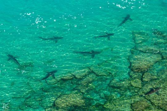 כרישים באזור חדרה (צילום: רון גפני, SkyPics)