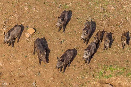 חזירי בר בירדן ההררי (צילום: רון גפני, SkyPics)
