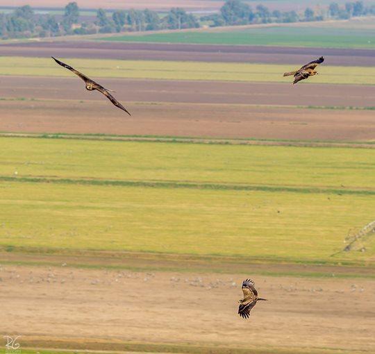 עופות דורסים באצבע הגליל (צילום: רון גפני, SkyPics)