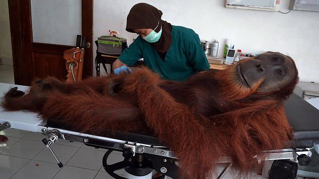 אורנגוטן שנפצע מירי עובר בדיקות באינדונזיה. צילום: סוטנטה אדיטיה (צילום: AFP) (צילום: AFP)