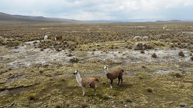 הגמלים של פרו. לאמות ואלפקות כחלק מהנוף המקומי (צילום: יוסף ג'קסון (ג'קסי)) (צילום: יוסף ג'קסון (ג'קסי))