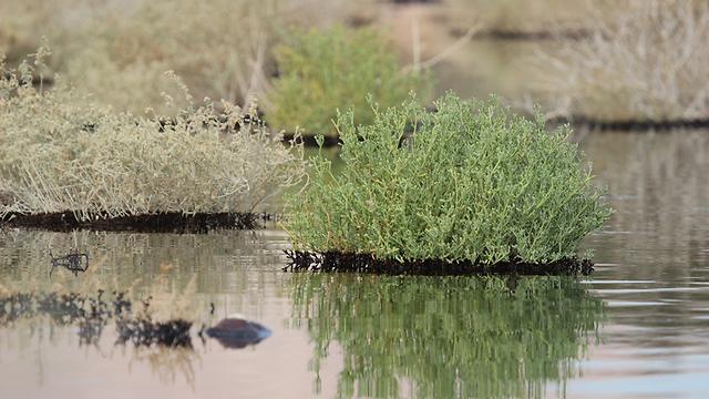 """""""הגלובוס השחור"""" לקצא""""א (צילום: נועם וייס, החברה להגנת הטבע) (צילום: נועם וייס, החברה להגנת הטבע)"""