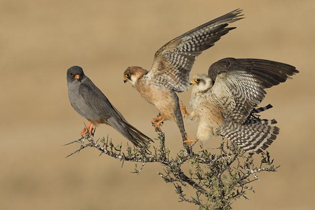 """מקום ראשון. אמיר בן-דב. שלושה בזי ערב (Falco vespertinus). זכר ושתי נקבות. (ציוד צילום: מצלמה קנון 1D Xעדשה 500 מ""""מ)"""