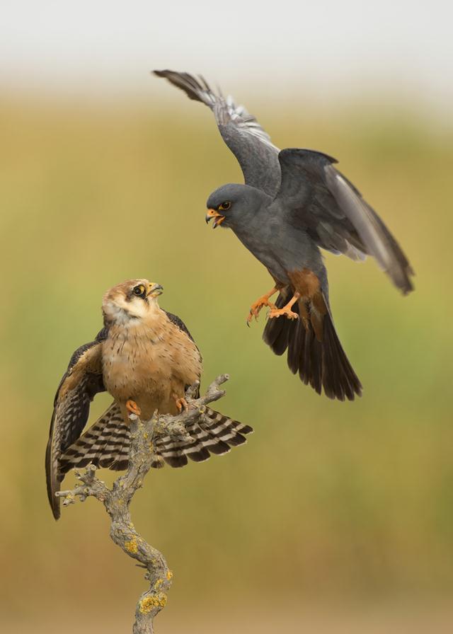 """בז ערב (Falco vespertinus). צילום: שלומי בכר (ציוד: מצלמה ניקון 4D, עדשה 500 מ""""מ)"""