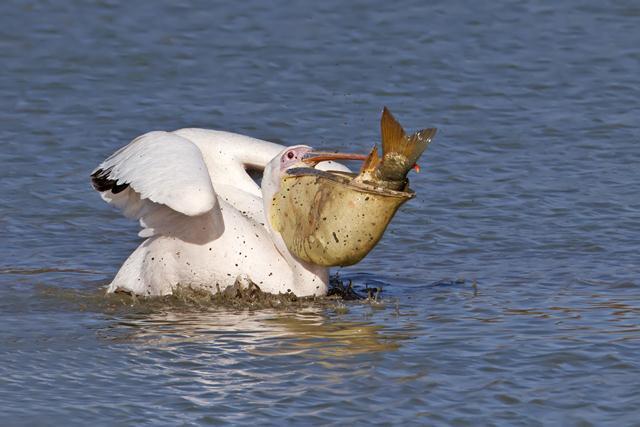 """שקנאי מצוי (Pelecanus onocrotalus). צילום: אודי דרור (ציוד : מצלמה קנון 7D עדשה 500 מ""""מ ומכפיל 1.4)"""