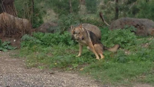הזאבה שאותרה באזור קצרין (צילום: אורי זכריה) (צילום: אורי זכריה)