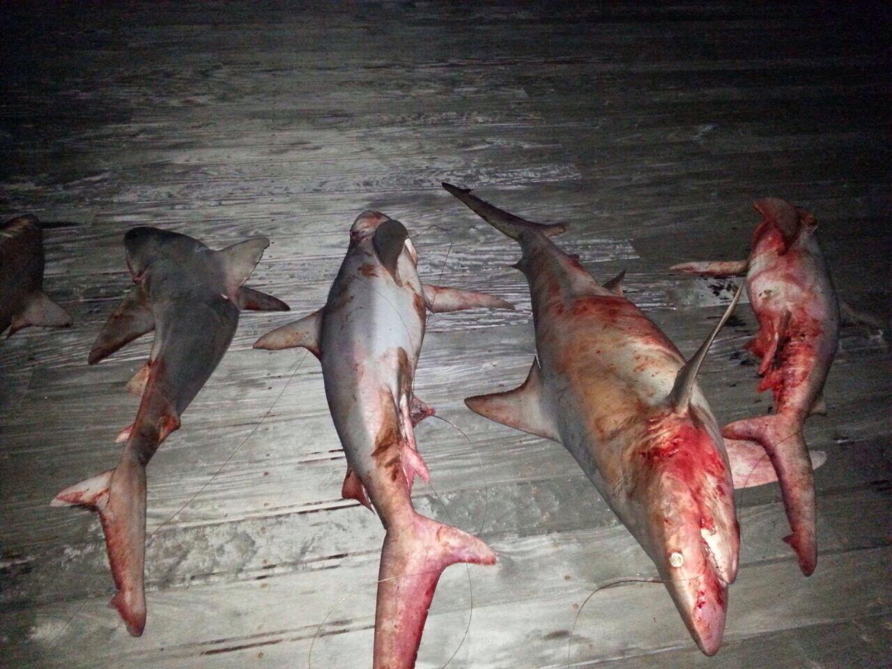 """כרישים שנתפסו החודש בסירת דייגים מול חופי ת""""א (צילום: רשות הטבע והגנים)"""