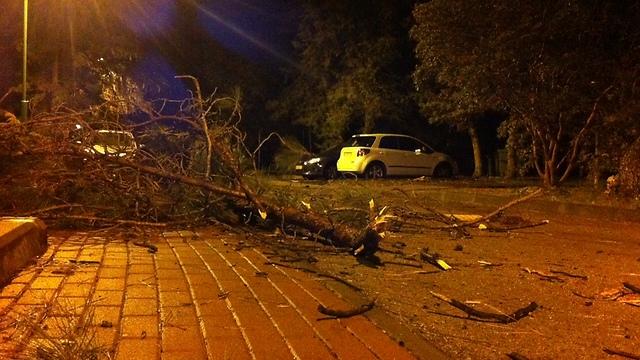 נזקי הסופה, עץ שנפל בקיבוץ יפתח (צילום: ענת זיסוביץ) (צילום: ענת זיסוביץ)