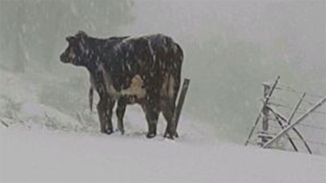 Cow plows its way through snow in north (Photo: Jewish National Fund) (Photo: Jewish National Fund spokesman)