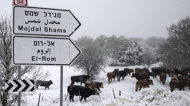 פרות בשלג. ארכיון (צילום: AFP) (צילום: AFP)