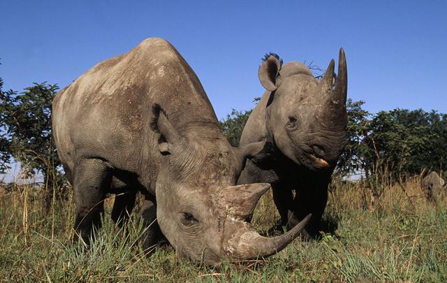 קרנפים צרי שפה (קרנפים שחורים) בדרום אפריקה. צילום: © Martin Harvey / WWF ()