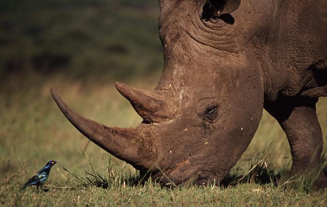 קרנף רחב שפה עם זרזיר בדרום אפריקה. צילום: © Martin Harvey / WWF ()