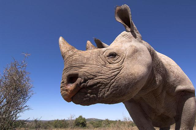 קרנף צר שפה מדברי בדרום אפריקה בסכנת הכחדה. צילום:  © naturepl.com / Mark Carwardine / WWF ()