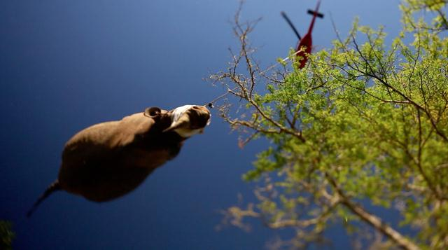 העברת קרנף צר שפה (שחור) בעזרת מסוק לשמורת טבע מוגנת בדרום אפריקה. הקרנפים מועברים כשהם מטושטשים לאזורים מוגנים יותר. צילום: © WWF / Green Renaissance ()