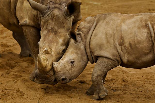קרנפית וגור רחבי שפה (קרנפים לבנים) בדרום אפריקה. צילום: © Brent Stirton / Getty Images / WWF-UK ()