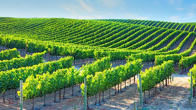יש שם גם יינות כשרים מפתיעים. צ'ילה (צילום: shutterstock) (צילום: shutterstock)