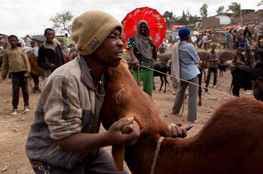 סוחר הפרות מנסה להשתלט על שור בשוק בלליבלה (צילום: עמיחי ינקוביץ')