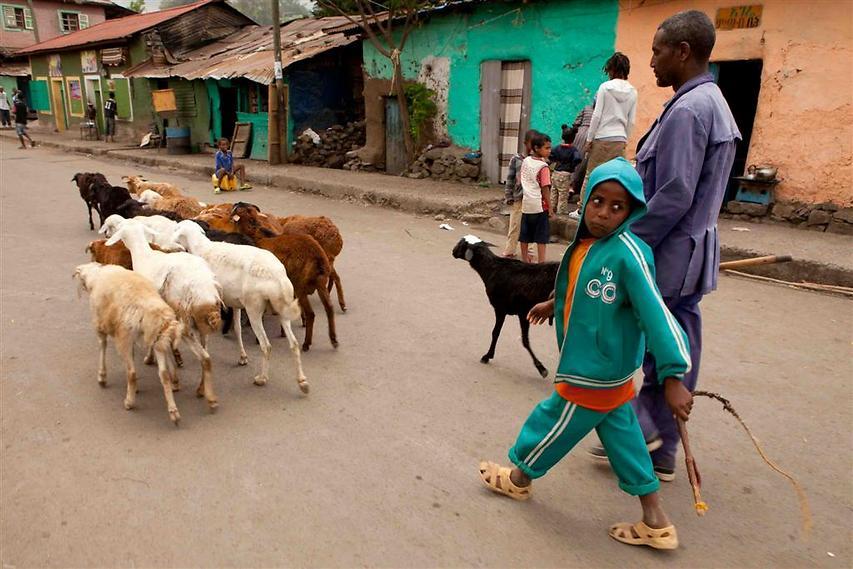 רועה צאן ובנו מגיעים עם צאנם מהכפר, כדי למכור אותו במרכז העיר גונדר (צילום: עמיחי ינקוביץ')