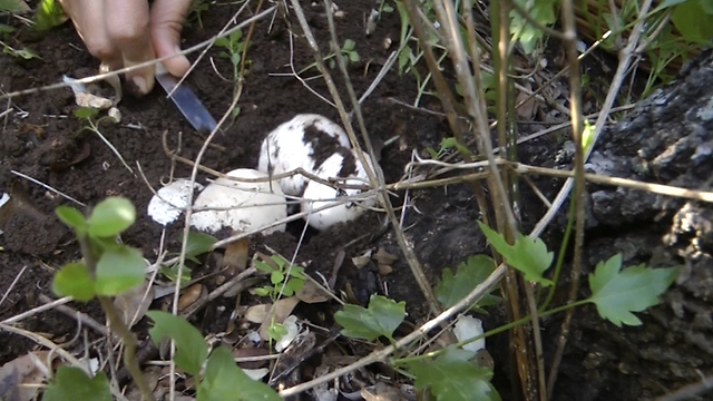 """פטריית מאכל """"פינית מבאישה"""" צעירה באדמה (צילום: אסף קמר) (צילום: אסף קמר)"""