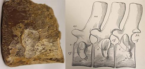 אחד מחלקי השלד שהתגלו ליד המושב פארן (באדיבות מרכז מדע ים המלח והערבה)